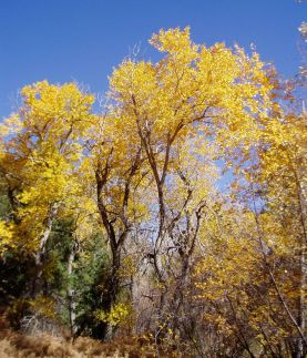 Cottonwoods in Bear Canyon