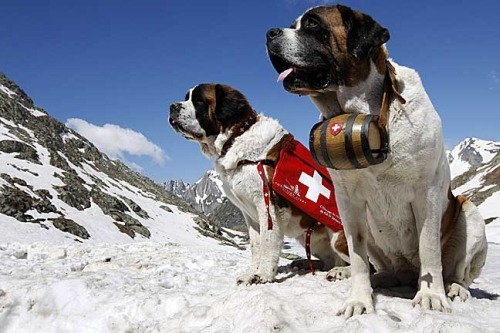 switzerland_saint_bernard_-sm